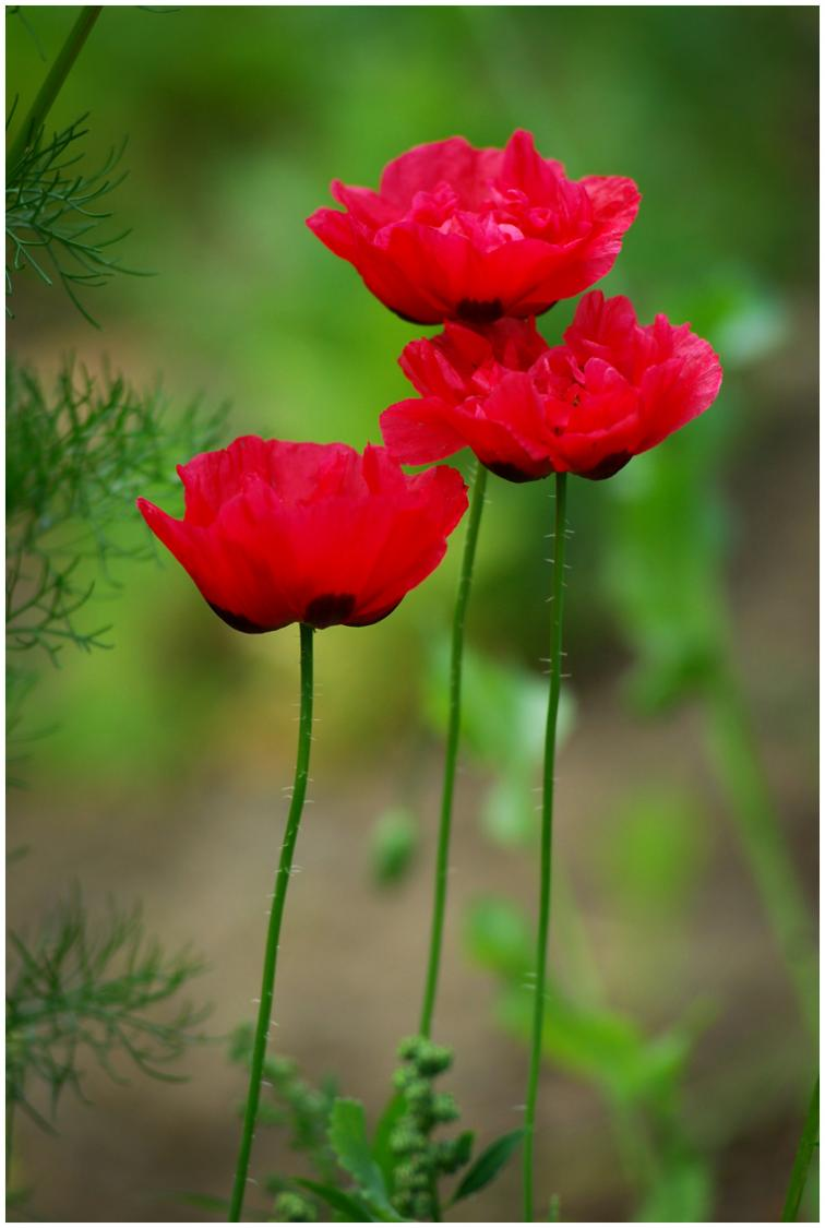 Trio of Poppies